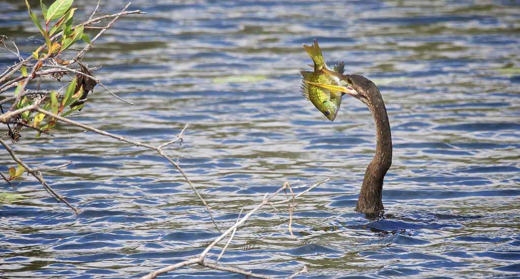 The world 39 s best photos of everglades and fish flickr for Fish hunt fl
