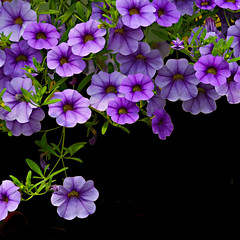 Negative Space, Positive Energy (drei88) Tags: petunia flowers vibrant bright blossom spring may greenhouse contrast growth energy atmosphere brilliant brilliance life rebirth regeneration mothersday memories