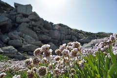 Sunny in Weymouth and Portland (dawn.v) Tags: asunnyday weymouthandportland britishseaside dorset coast seaside nikon may 2017 polarisingfilter flowers thrift portlandbill