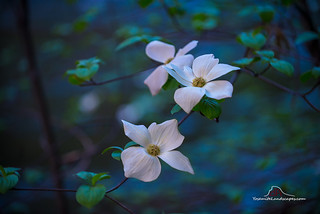 Dogwoods in the Moonlight
