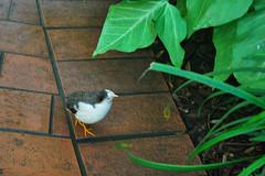 Key West (Florida) Trip 2016 0240Ri 4x6 (edgarandron - Busy!) Tags: florida keys floridakeys keywest bird birds butterflyhouse keywestbutterflyandnatureconservatory chinesequail
