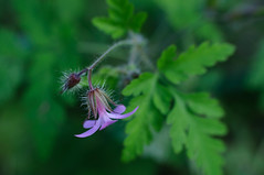 Into the woods - Dans les bois (fred_v) Tags: stinkybob geraniumherbeàrobert inthewoods macromondays color couleur fleur green mauve vert