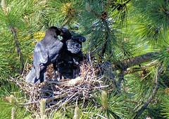 Séance de nourrissage ! (jean-daniel david) Tags: nature oiseau corneille bébé crow nid arbre forêt pin sapin juvénile
