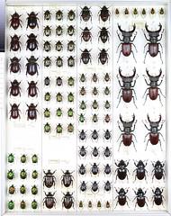 Collection Ambjörn Carlsson 37 (Biological museum, Lund University: Entomology) Tags: scarabaeidae dynastinae cetoniinae lucanidae coleoptera