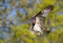 Osprey 5_17 (krisinct- Thanks for 15 Million views!) Tags: nikon d500 500 f4 vrg