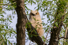 May 7, 2017 - A Great Horned Owl owlet keeps watch. (Tony's Takes)