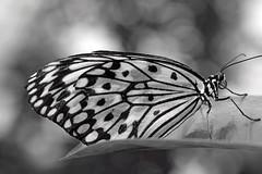 B + W Butterfly (bnbalance) Tags: yourbestblackandwhite bnw blackandwhite beautifulbutterfly butterfly depthoffield macrobutterfly macro butterflybokeh new nature art bw