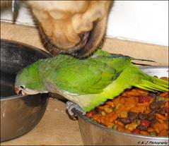 """ Hmm..This dog food smells funny "" (John Neziol) Tags: kjphotography goldenretriever fieldretriever quakerparrot quaker bird feathers pet dog beak dogfood"