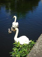 Swan Family, Columbus Walk, Cardiff 19 May 2017 (Cold War Warrior) Tags: swan cygnusolor cardiff cygnet