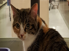 Dotty - 8 month old spayed female