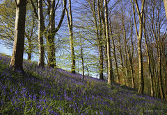 Forest Spring Symphony (shawn›raisin d+p) Tags: blackcovert canon6d ceredigion cymru nature place plant uk wales beauty beech bluebells deciduous flower hardwood joy mood tree trees woodland woods trawscoed unitedkingdom gb