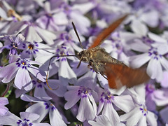 Taubenschwänzchen (Macroglossum stellatarum) , NGIDn805603470 (naturgucker.de) Tags: ngidn805603470 naturguckerde taubenschwänzchenmacroglossumstellatarum johannisberg altersteinbruch chansschwarting