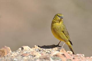 Chirihue verdoso / Greenish yellow-finch (Sicalis olivascens)