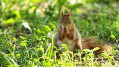 Squirrel (MadMouseMan) Tags: wildlife animal animals squirrel park grass eat travel europe