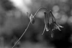 honeysuckle (Paul Lundberg) Tags: canonat1 canonfd50mmmacrof35 ultrafinextreme400 kodakhc110 plustekopticfilm7300 film 35mm honeysuckle flower blackwhite