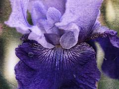 Purple Iris Textured (ladyinpurple) Tags: lightroom topaz texture adjust iris