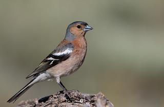 Common chaffinch (Fringilla coelebs) - Pinzón (Fringilla coelebs)