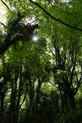 In the light (KevPBur) Tags: canon650d canonkissx6i canonrebelt4i canonefs18135mmf3556isstm hampshire selborne selbornecommon canopy converginglines green leaves starburst sunstar trees village canon650dcanonkissx6icanonrebelt4i