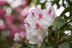 Where Flowers Bloom, So Does Hope (Synapped) Tags: rhododendron flower white pink crystal springs garden portland oregon explore