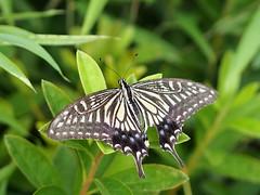 ナミアゲハ (Polotaro) Tags: mzuikodigital45mmf18 butterfly insect bug nature olympus epm2 pen zuiko チョウ 蝶 虫 昆虫 自然 オリンパス ペン ズイコー ナミアゲハ 6月