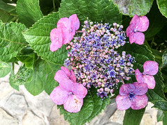 181/365 (Daegeon Shin) Tags: iphone i6s cellphone flower flor macro hortensia hydrangea 수국 365 아이폰 휴대폰 마크로 접사
