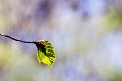(Vitatrix) Tags: himmel buche baum blatt gegenlicht frühling outdoor natur