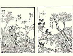 Indian-shot, scabrous gentian, potentilla, monkshood and sweet osmanthus (Japanese Flower and Bird Art) Tags: flower indianshot canna indica cannacae scabrous gentian gentiana scabra gentianaceae potentilla cryptotaeniae rosaceae monkshood aconitum chinense ranunculaceae sweet osmanthus fragrans oleaceae shigemasa kitao kano woodblock picture book japan japanese art readercollection