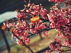Springtime Scenes (Jon-Fū, the写真machine) Tags: jonfu 2017 olympus omd em5markii em5ii em5mkii em5mk2 em5mark2 オリンパス mirrorless mirrorlesscamera microfourthirds micro43 m43 mft μft マイクロフォーサーズ ミラーレスカメラ ミラーレス一眼カメラ ミラーレス機 ミラーレス一眼 snapseed japan 日本 nihon nippon ジャパン ジパング japón जापान japão xapón asia アジア asian orient oriental aichi 愛知 愛知県 chubu chuubu 中部 中部地方 nagoya 名古屋 outdoors 野外 nature 自然 plant plants 植物 flora