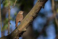 3433 (Condor Photography) Tags: bird hermit thrush