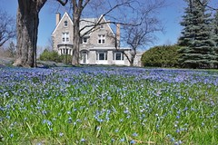 The sweet blooms of spring (beyondhue) Tags: carpet blue bells flower blooming bloom house lawn spring sunny beyondhue ottawa gatineau garden quebec canada bluebell