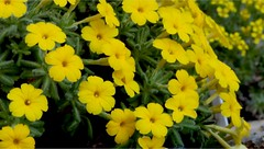 Dionysia aretioides (Nasr Habib Abdalla) Tags: greenhouse cookham england dionysiaaretioides primulaceae