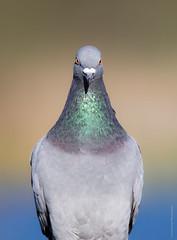 Rock Pigeon (Crisp Image Photography) Tags: birds pigeon rockpigeon columbalivia birdsofbc birdphotography nature naturephotography wildlife wildlifephotography canon canon1dxmarkii sigma150600sport kevinlippe crispimagephotography britishcolumbia burnabylake