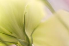 you have me/私があなたにできること (kurupa_m) Tags: eustomarussellianum flower plant xt10 mcex16 トルコキキョウ 白 緑
