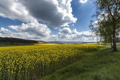 Raps (in explore) (tan.ja1212) Tags: raps rapsfeld frühling frühjahr himmel wolken wiese baum birke sonne landschaft spring sky clouds tree birch sun landscape