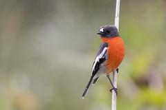Flame Robin 2017-04-17 (60D_9488) (ajhaysom) Tags: flamerobin petroicaphoenicea westerntreatmentplant pointwilson australianbirds canoneos60d sigma150600 melbourne australia