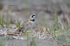 Horned Lark (featherweight2009) Tags: hornedlark eremophilaalpestris larks songbirds grounddwellingbirds birds
