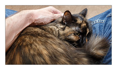 A Favourite Place (Unintended_Keith) Tags: cat lap cuddle stroke cute fluffy feline canon1dx canonef2470mmf4lisusm