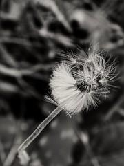 Pide un deseo y sopla fuerte (albarubiolo) Tags: macrofotografia monocromatico blackandwhite dandelions focus macro wish