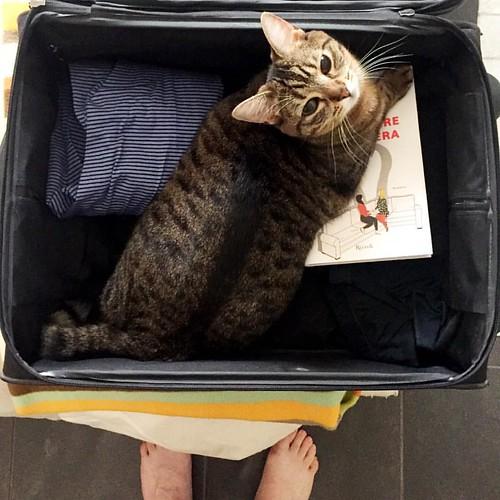 Fare la valigia con un gatto: mettere le scarpe togliere il gatto mettere i pantaloni togliere il gatto mettere le camicie  togliere il gatto... E così fino a chiudere la valigia. Possibilmente senza gatto dentro 😉 *** #igerslaspezia #sarzana  #VitaD