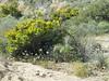 Q3266933 Joshua Tree National Park Wilson Canyon wildflowers (ceztom) Tags: march 26 2017 wilsoncanyon whitetank joshuatree nationalpark