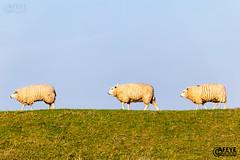 Garnwerd (evertjanluchies) Tags: garnwerd groningen dijk lente schapen reitdiep