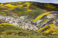 Temblor Range Colors (lycheng99) Tags: temblorrange carrizo carrizoplainsnationalmonument wildflowers wild flowers colors colorful mountains valleys peaks valley nature landscape california superbloom bloom park spiritofphotography