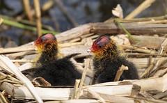 Cute Coot Kids (Doyleecart Photography) Tags: coot chicks life newlife newborn rspb somerset mendip westcountry england uk europe nesting doyleecart canon5dmkiv