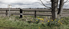 Spring in Hougham (Wulfruna) Tags: dvt vtec virgin eastcoast eastcoastmainline ecml class91 hougham train railway flowers daffodil spring wind tree fence field lincolnshire uk
