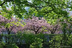 Streifentechnik (Sockenhummel) Tags: berlin baumblüte allee bäume trees hanami kirschbäme volkspark durlacherstrase fuji x30 fujifilm finepix hecke hedge kirschbaumallee mauerweg grenzstreifen mauer grenze wiedervereinigung sakura higankirsche sakuracampaign floweringseason blossomtime treeblossom kirschblüten fujix30 baum blüte garten landschaft park zierkirschen