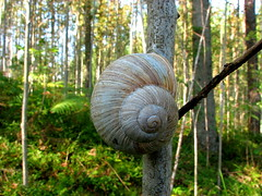 Forest_snail