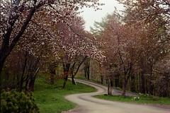 Cherry road (threepinner) Tags: cherry tree road naie hokkaidou hokkaido northernjapan japan mamiya press super23 sekor 100mm f28 negative iso160 selfdeveloped spring 奈井江町 北海道 北日本 日本 にわ山