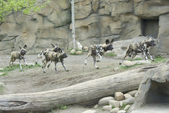 Running with the pack (ucumari photography) Tags: ucumariphotography cincinnati ohio zoo april 2017 animal mammal wilddog painteddog african lycaonpictus dsc1890 specanimal