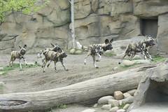 Running with the pack (ucumari photography) Tags: ucumariphotography cincinnati ohio zoo april 2017 animal mammal wilddog painteddog african lycaonpictus dsc1890 specanimal