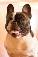 DSC06311 (Anastasia Neto) Tags: dog dogphotography dogmodel dogs dogphotographer cutepuppies cutepuppy petmodel puppies puppy petphotography pet petphotographer pets frenchbulldog frenchies frenchie funnydog frenchbulldogs funnydogs